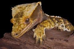 Verticale crêtée de gecko photo libre de droits