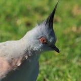 Verticale crêtée de pigeon photographie stock