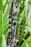Verticale crudo organico di crescita di clima del primo piano della pianta della canna da zucchero del raccolto agricolo tropical Immagine Stock