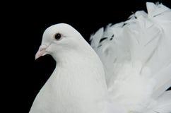Verticale décorative blanche de colombe Photographie stock libre de droits