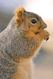 Verticale d'écureuil Photo libre de droits