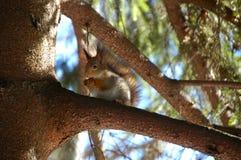 Verticale d'écureuil rouge photo stock