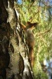 Verticale d'écureuil rouge photo libre de droits