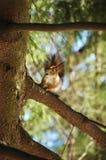 Verticale d'écureuil rouge photographie stock