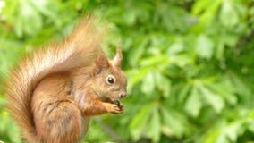 Verticale d'écureuil rouge Photos libres de droits