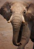 Verticale d'éléphant Photos libres de droits