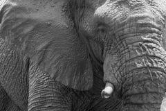 Verticale d'éléphant photographie stock