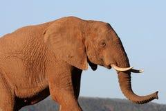 Verticale d'éléphant africain Photo stock