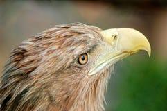 Verticale d'aigle Photo stock