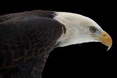 Verticale d'aigle chauve photo libre de droits
