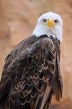 Verticale d'aigle chauve Photographie stock libre de droits