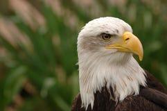 Verticale d'aigle chauve Photo stock
