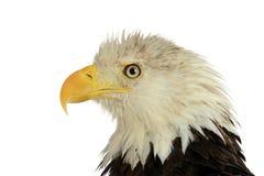 Verticale d'aigle chauve Photos stock