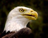Verticale d'aigle chauve Images stock