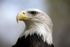 Verticale d'aigle chauve image stock