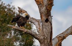 Verticale d'aigle chauve image libre de droits