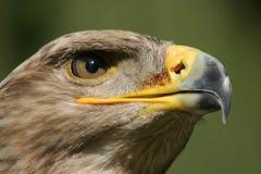 Verticale d'aigle d'or Image libre de droits