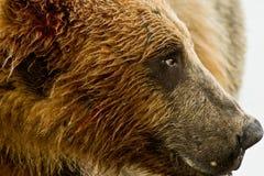Verticale d'Alaska d'ours gris Photographie stock libre de droits