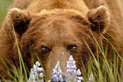 Verticale d'Alaska d'ours gris Image stock