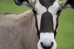 Verticale d'antilope Photos libres de droits
