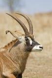 Verticale d'antilope Roan Images libres de droits
