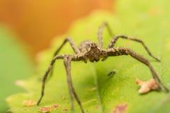 Verticale d'araignée Photographie stock