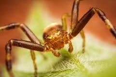 Verticale d'araignée de crabe Image libre de droits