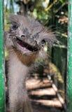 Verticale d'autruche photo stock