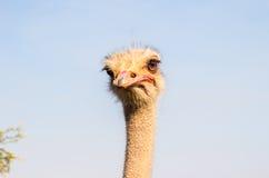 Verticale d'autruche Photos libres de droits
