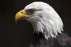 Verticale d'Eagle chauve image libre de droits