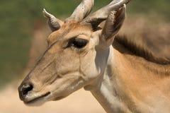 verticale d'eland Photographie stock libre de droits
