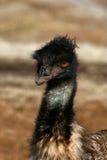 Verticale d'Emu Photos stock