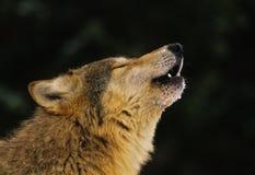 Verticale d'hurlement de loup gris Photographie stock libre de droits