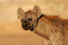 Verticale d'hyène Photos libres de droits