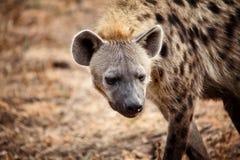 Verticale d'hyène Images stock