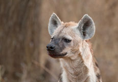 Verticale d'hyène Photographie stock