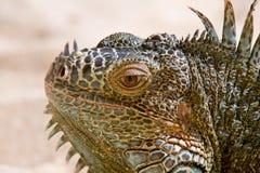 Verticale d'iguane Image libre de droits