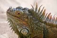 Verticale d'iguane Photos libres de droits