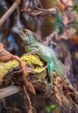 Verticale d'iguane vert Photo libre de droits