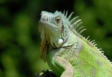 Verticale d'iguane vert Photos stock