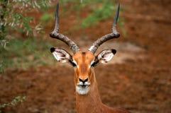 Verticale d'Impala Image stock