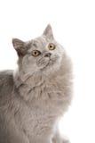 verticale d'isolement mignonne britannique de chaton Photographie stock libre de droits