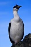 Verticale d'oiseau aux yeux bleus Photos libres de droits