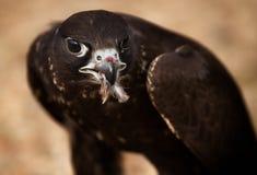 Verticale d'oiseau de faucon Images stock