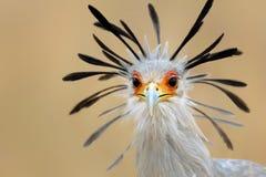 Verticale d'oiseau de secrétaire photographie stock