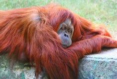 Verticale d'orang-outan Image libre de droits