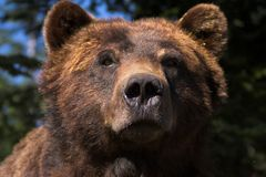 Verticale d'ours Photo stock