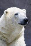 Verticale d'ours blanc Images libres de droits