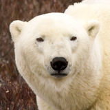 Verticale d'ours blanc Photographie stock