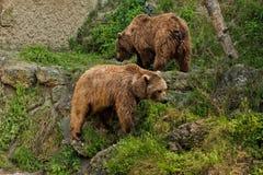 Verticale d'ours dans le zoo de Salzbourg images stock